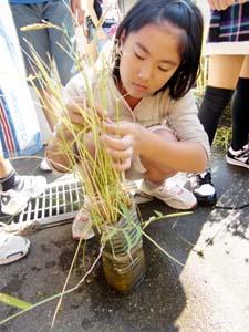 収穫する5年生 - 雑賀崎小5年がペットボトルで米作り