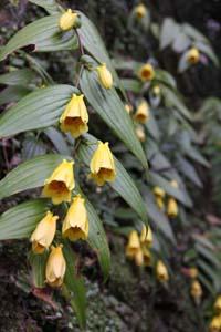 鐘形状の黄色い花 - 和歌山城のキイジョロウホトトギス