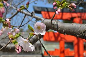 思わずうっとり美女の桜1
