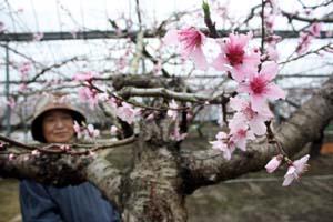 桜よりも一回り大きい桃の花が咲いている
