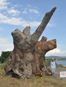 今月引き上げられた巨大流木