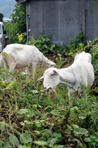 農用地の草を食べるヤギ