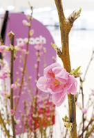 贈呈された花桃 (関西空港第2ターミナルで)