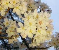 満開を迎えた和歌山城の桜