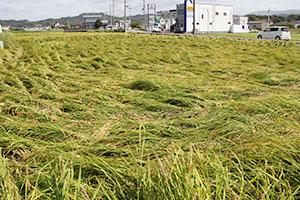 収穫直前で冠水し、横倒しになった稲(和歌山市平尾)