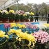 色鮮やかに並ぶ菊