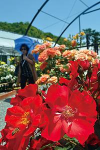色鮮やかなバラが咲いている