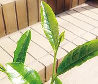鮮やかな緑の新芽