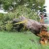 根元から倒れた木(和歌山市島橋北ノ丁、10日午後4時10分)