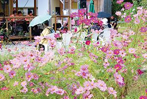 色とりどりのコスモスが咲く園内