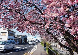 見ごろを迎えた早咲きの桜