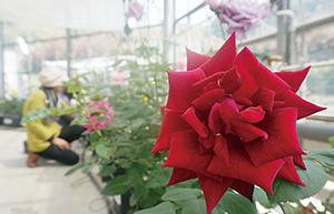 多彩なバラが来場者を楽しませている