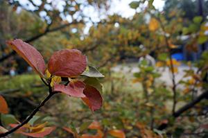 葉の色が染まったハマボウ