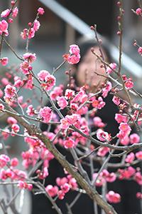 鮮やかな赤い花を見せる紅梅