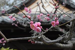 華やかに色づく紅梅の花