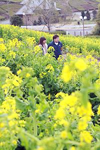 鮮やかな黄色の菜の花が見ごろ