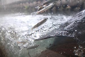 魚道を飛び跳ねるアユの群れ