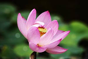 ピンク色の大輪を咲かせる大賀ハス