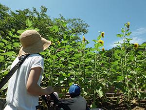 ヒマワリの花を見上げる来園者