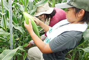 トウモロコシを収穫する参加者ら