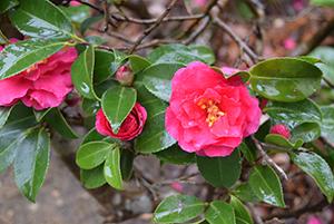 鮮やかに咲くサザンカの花