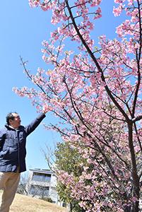 濃いピンクの花が満開の河津桜