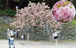 ピンク色の華やかな花を撮影する観光客