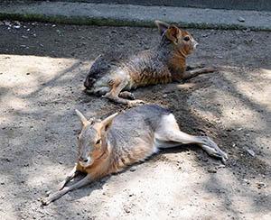 和歌山公園動物園の大人のマーラ