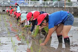 田んぼに苗を植える児童ら