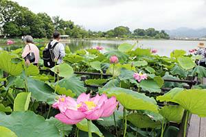 ベトナムハスが見頃を迎えた平池