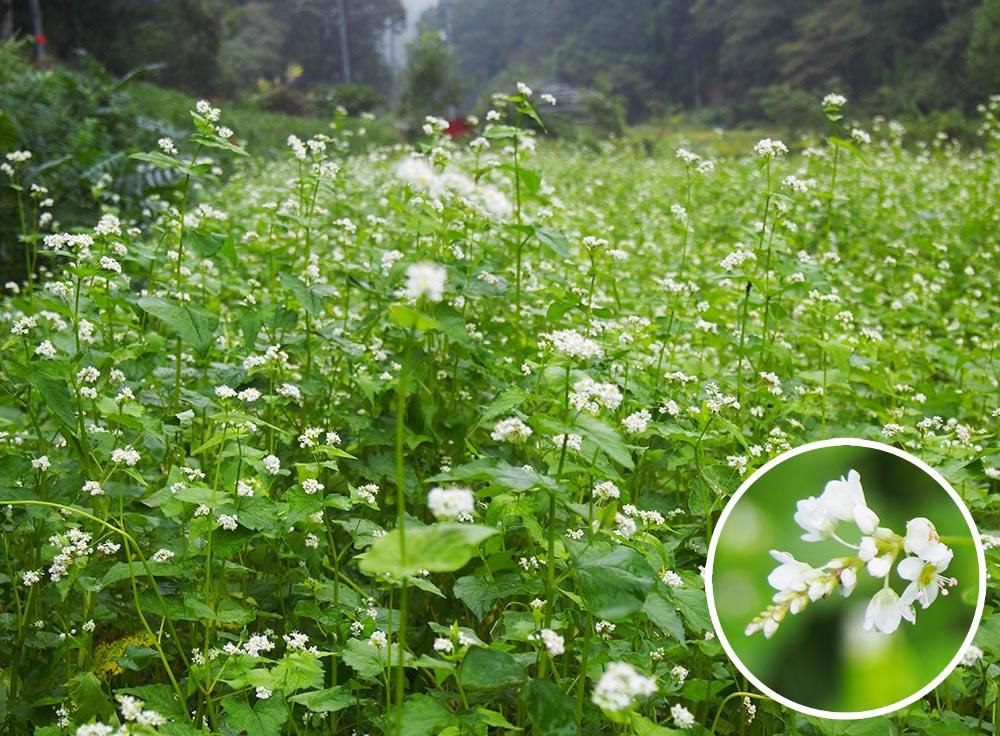 かれんな白い花が広がるソバ畑