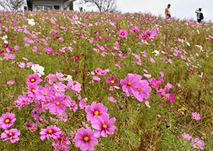 山頂で一面に広がるコスモス畑(有田川町長谷)