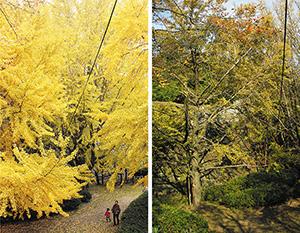 一面の葉が黄金色に染まる例年㊧と異なり、枝は折れ、葉もほとんど 残っていない大イチョウ