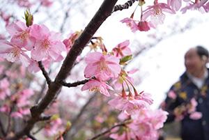 濃い色の花がきれいな河津桜