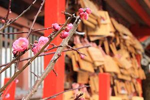 梅が咲く境内に絵馬がぎっしり並ぶ