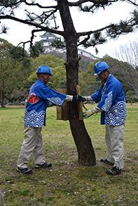 松の木からこもを外す市職員