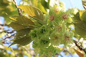 緑の花を咲かせる「御衣黄」