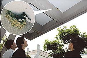 正面玄関の軒下に巣を作るツバメ