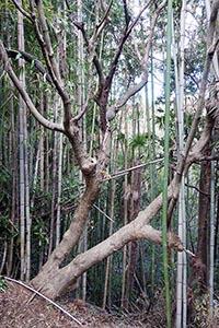 県天然記念物に再指定されたブドウハゼの原木(県教委提供)