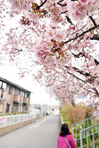 寒さに負けず満開間近の桜