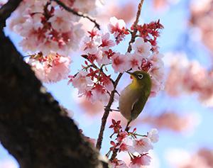 満開を迎えた早咲きの桜とメジロ