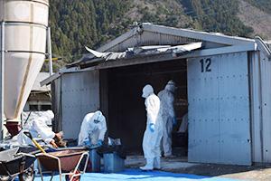 鶏舎から死骸を運び出し容器詰めする作業員