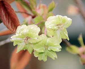緑の花を咲かせる御衣黄