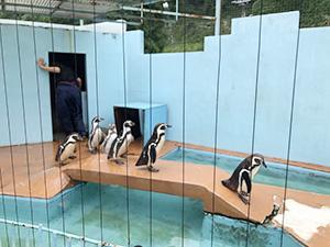 行進するペンギン