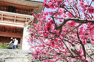 咲き誇るピンク色の梅