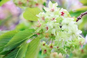 緑と赤みがかった花が入り混じる御衣黄