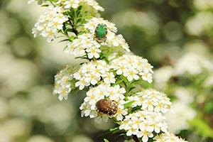 キイシモツケの花に集まる虫たち