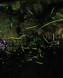 阿振川を舞うゲンジボタルの光(長時間露光を合成)