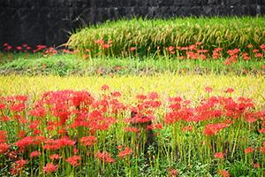赤色のヒガンバナが町じゅうに彩りを添えている