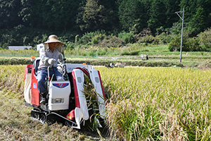 コンバインを使い稲を刈り取りしながら脱穀